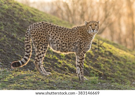 Portrait of wild cheetah patrolling. Close-up. - stock photo