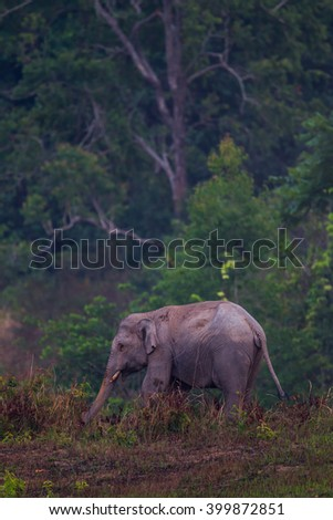 Portrait of Wild elephants (Elephas maximus) in real nature in the evening at Khaoyai national park, Thailand - stock photo