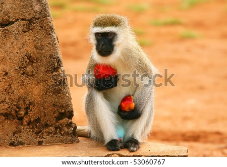 Portrait of wild hungry monkey . Africa. Kenya. Masai Mara - stock photo