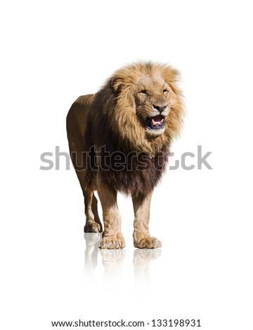 Portrait Of Wild Lion Isolated On White Background - stock photo