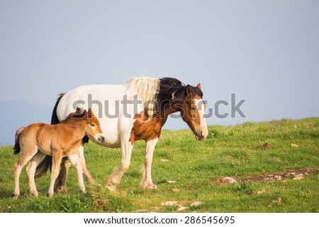 Portrait of wild paint horse with her baby - stock photo