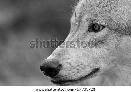 Portrait of Wolf in Black and White (Also available in color)