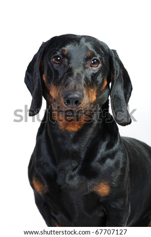 Portrait of 3 year old dachshund dog in front of a white background