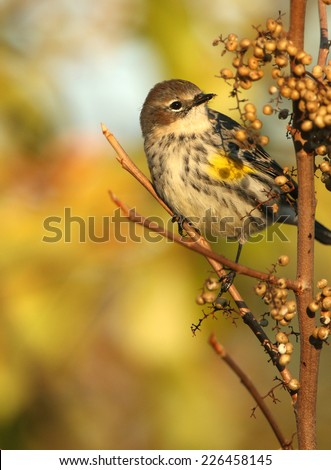 Portrait of Yellow-Rumped Warbler - stock photo