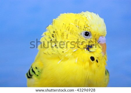 Portrait of yellow wavy parrot on a blue background.