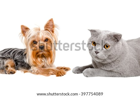 Portrait of Yorkshire terrier and cat Scottish Fold lying together, closeup, isolated on white background