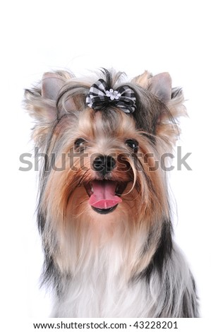 Portrait of yorkshire terrier black and white color (biver york) isolated on white - stock photo