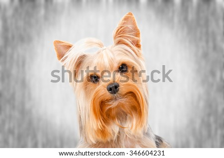 Portrait of Yorkshire Terrier, closeup on a gray background - stock photo