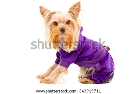 Portrait of Yorkshire terrier dog in a suit sitting isolated on white background - stock photo