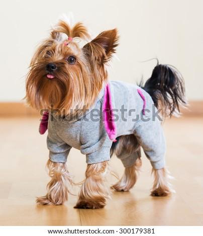 Portrait of Yorkshire Terrier dog in overcoat indoor - stock photo