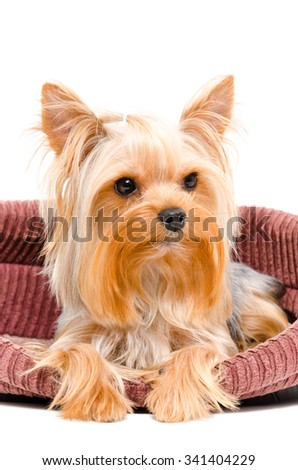 Portrait of Yorkshire terrier dog lying in bed isolated on white background - stock photo
