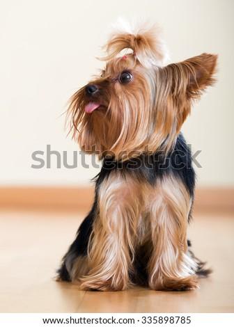 Portrait of  Yorkshire Terrier dog sitting on  floor indoor - stock photo