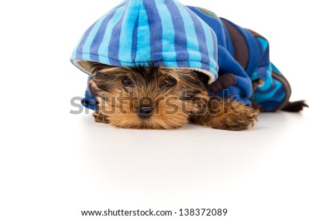 Portrait of Yorkshire terrier in clothes - stock photo