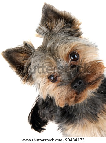 portrait of Yorkshire Terrier in front - stock photo