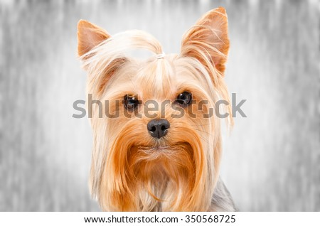 Portrait of Yorkshire Terrier, on a gray background - stock photo