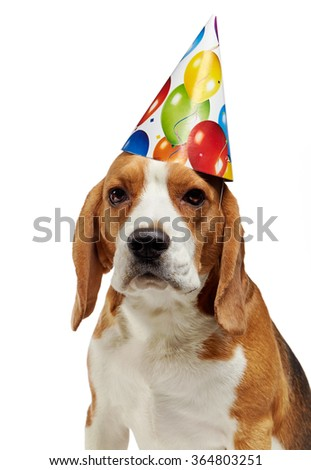 portrait of young beagle dog with party hat on a white background