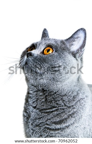 Portrait of Young beautiful gray British cat isolated on white background - stock photo