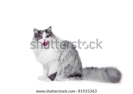 Portrait of young beautiful licking gray and white persian cat sitting on isolated background - stock photo