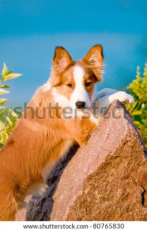 Portrait of young border collie puppy 6 months old in the sunset - stock photo