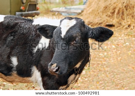 Portrait of young calf on backyard of the farm