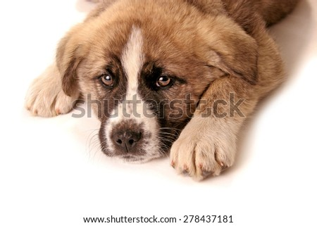 Portrait of young dog posing and looking at camera.Studio isolated,