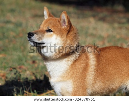 Portrait of young dog shiba inu on natural background
