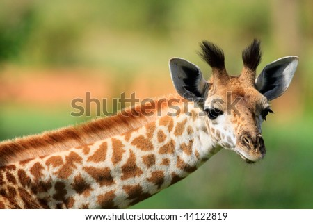 Portrait of young female giraffe in Tarangire national park, Tanzania