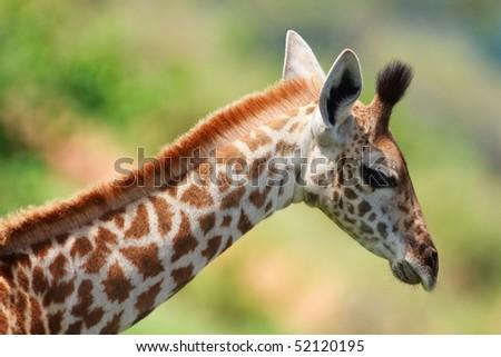 Portrait of young female giraffe in Tarangire national park, Tanzania - stock photo