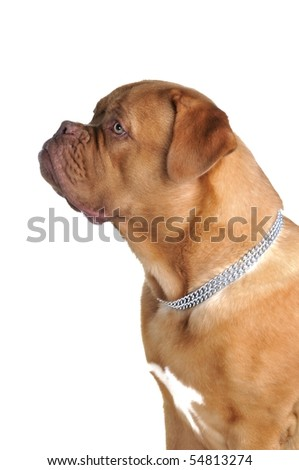 Portrait of young French Mastiff - stock photo