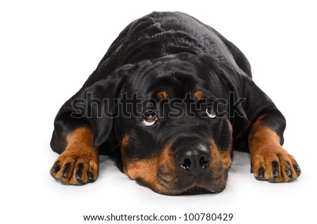 Portrait of young funny Rottweiler, lying down, isolated on white - stock photo