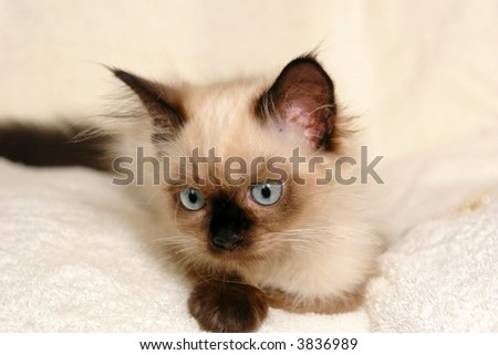 Portrait of young himalayan kitten fading into the background of off white terry-cloth, looking cute and curious - stock photo