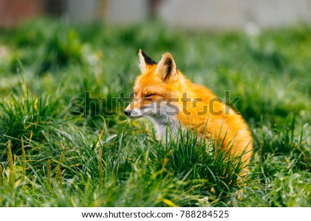 Portrait of young little red fox sitting on green grass at wild nature outdoor. Furry puppy animal life. Predator in countryside. Fauna lifestyle. Muzzle of lovely beautiful creature. Tender and kind