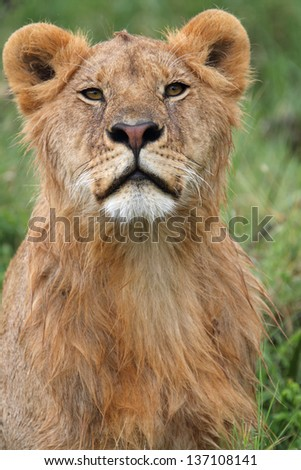 Portrait of young male lion against green background - stock photo