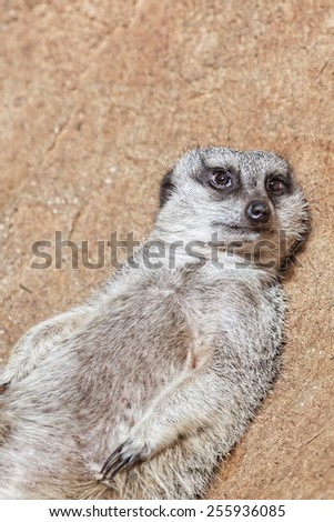 Portrait of young meerkat on the stones - stock photo