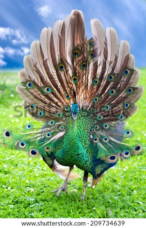 Portrait of young peacock with open tail - stock photo