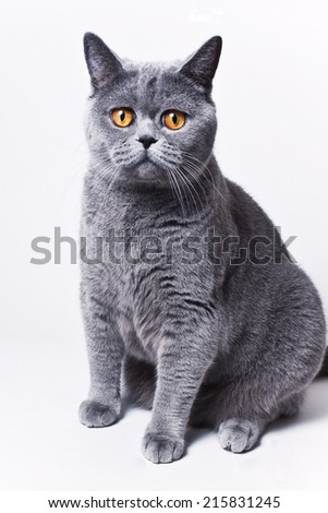 Portrait of young short-haired British gray cat on a white background - stock photo