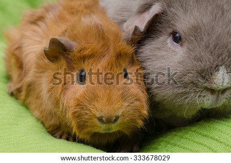 portrait of young shorthaired peruvian guinea pig next to adult curly