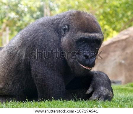 Portrait of young smiling gorilla - stock photo