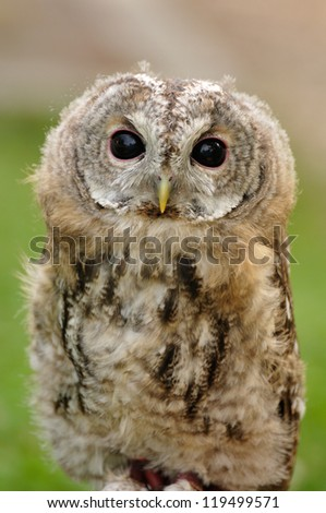portrait of young  Tawny Owl or Brown Owl (Strix aluco) - stock photo