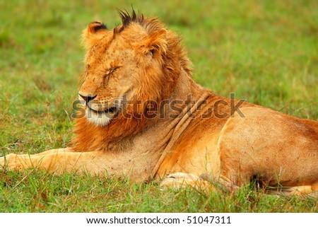 Portrait of young wild african lion. Africa. Kenya. Masai Mara - stock photo
