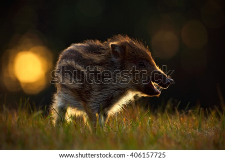 Portrait of young Wild boar, Sus scrofa, in the grass with evening back light, red autumn forest in background, animal in the grass habitat, France, wildlife - stock photo