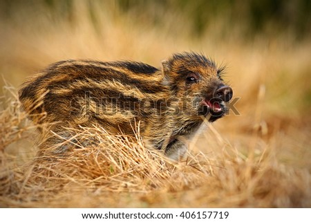 Portrait of young Wild boar, Sus scrofa, running in the grass meadow, red autumn forest in background, animal in the grass habitat, France, wildlife - stock photo