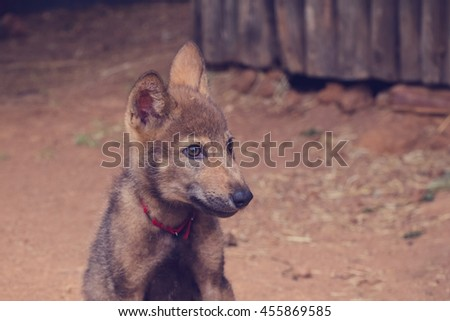 Portrait of young wolf puppy with red necklace - stock photo