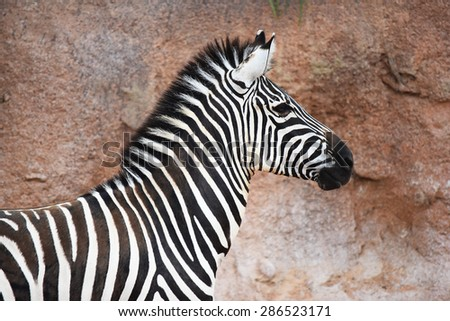 Portrait of zebra  - stock photo