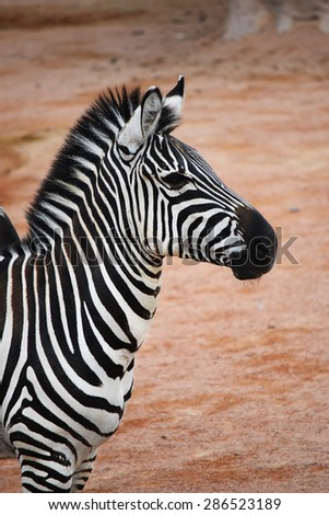 Portrait of zebra on the African savannah, profile - stock photo