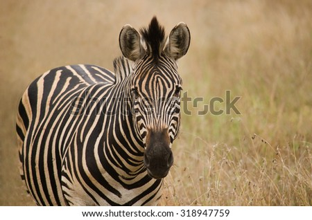 portrait of zebra standing in a field - stock photo