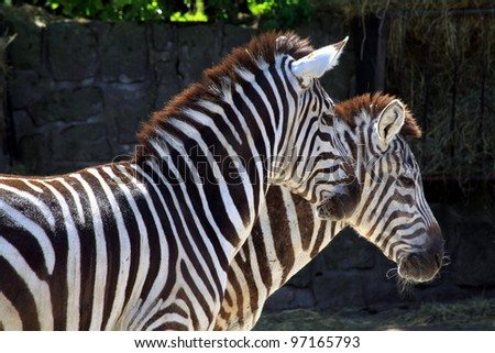 Portrait of zebras