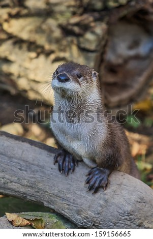 portrait otter - stock photo