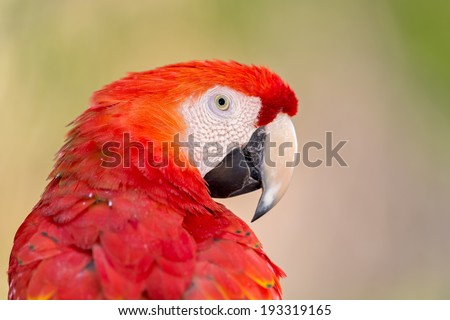 Portrait photo of a Scarlet Macaw (Ara macao)