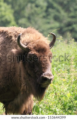 portrait photo of an european bison - stock photo